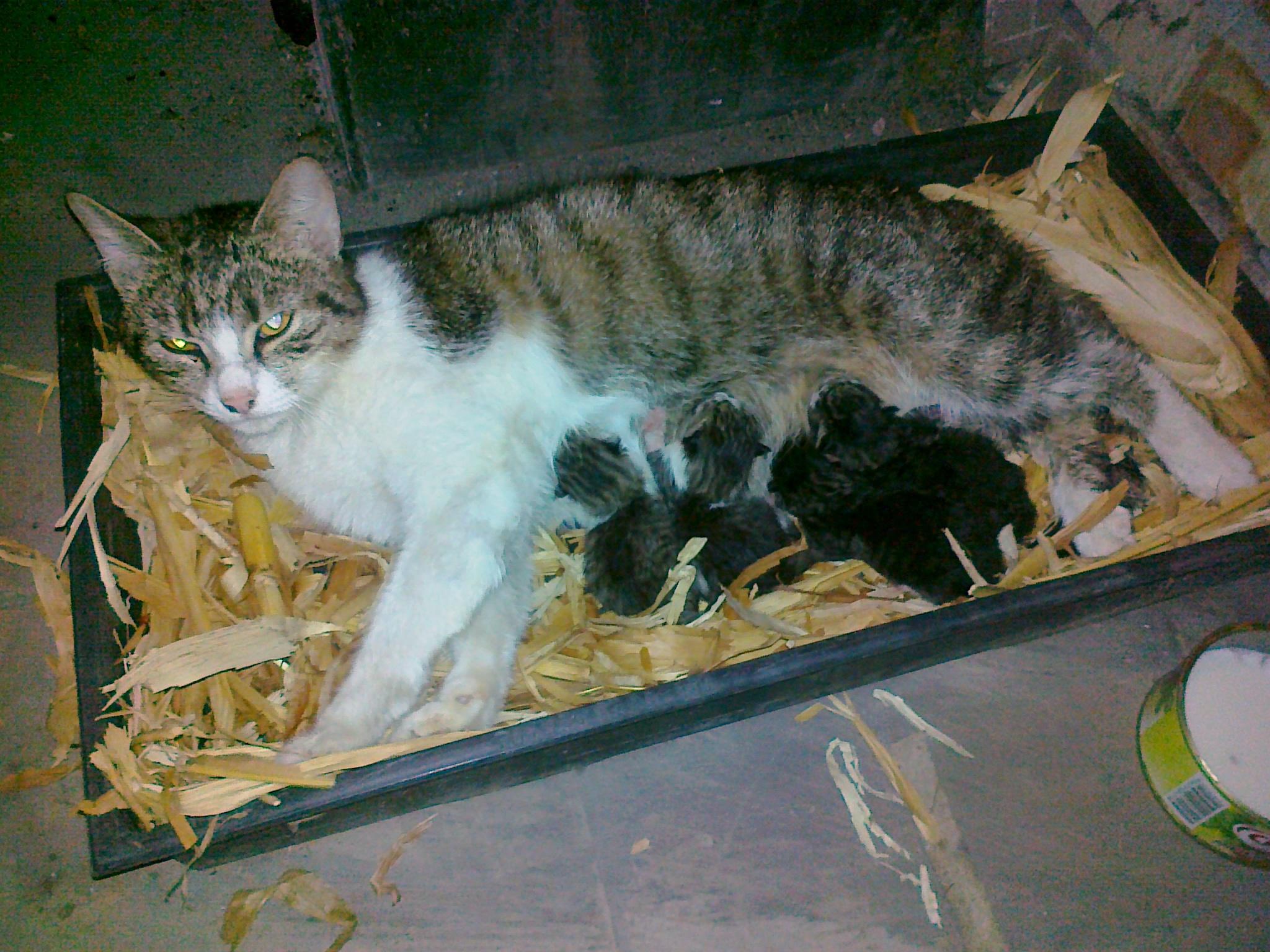 Titkár nevű cicánk négy újszülött kiscicájával. Cirmosak és egyiknek, másiknak van kis fehér mellénykéje.