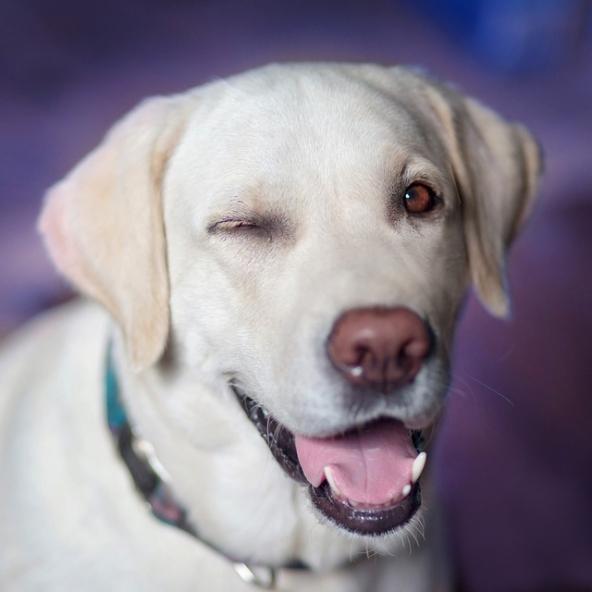 A labrador láthatóan örül kacsint és kinyújtja a nyelvét