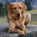a puszta padlón fekvő labrador vakvezető kutya