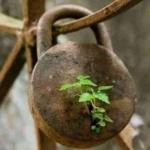 egy rozsdás, zárt, régóta nem használt vas lakat, amiben kinőtt egy növény