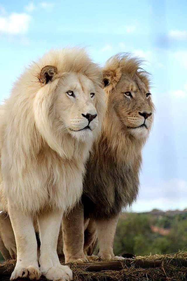 Erő és eltökéltség_két közvetlenül egymás mellett álló hím oroszlán - egy világos és egy kicsit sötétebb - nemes tartással, mély tekintettel